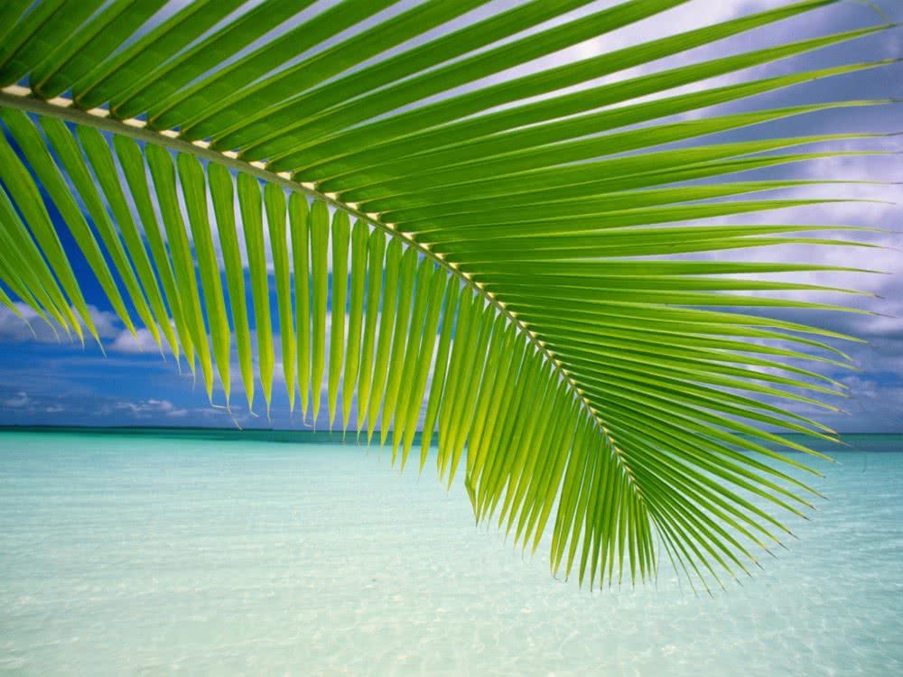 fond d ecran palmier