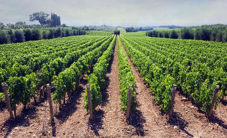 Les vignes du Cognac